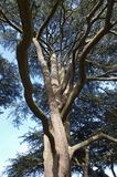 Twisted Branches of Yew Tree. Large branches of a Yew tree, twisting around each other vertically towards the canopy Stock Image