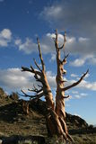 Twisted Bristle Cone Pine Stock Photography