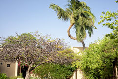 A twisted coconut tree Royalty Free Stock Photos