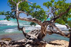 Twisted crooked tree on rocky ground in front of turquoise wild ocean with white foam of waves - Jamaica. Twisted crooked tree on rocky ground in front of stock photos