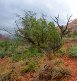 Twisted cypress tree at sedona vortex Royalty Free Stock Photo