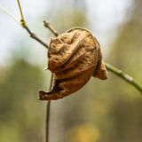 Twisted dry leaf Royalty Free Stock Photography