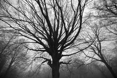 Twisted, eerie trees in forest. Twisted old trees in a misty forest Stock Images