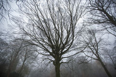 Twisted, eerie trees in forest. Twisted old trees in a misty forest Stock Photography