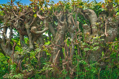 Twisted Entwined Hedgerow,Trees Royalty Free Stock Photos