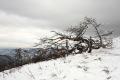 Twisted Frozen Frosted Dead Tree. A twisted dead tree on a snowy slope covered in frost with ice covered branches against the overcast sky in a cold winter day Stock Photos
