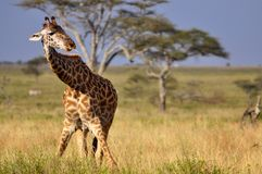 Twisted Giraffe. Giraffe in The Serengeti, Africa Royalty Free Stock Photos