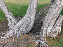 Twisted and Gnarled Australian Native Trees stock photos