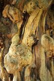 Twisted and gnarled bark of old tree stock photo