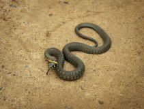 Twisted grass snake Royalty Free Stock Image