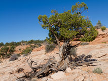 Twisted juniper tree Stock Photography