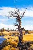 Twisted Juniper Tree in Winter Stock Photo
