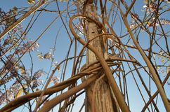 A Twisted Lilac Vine Reaching to the Sky royalty free stock photos