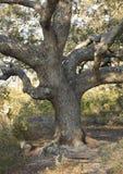 Twisted Live Oak Tree Stock Photos