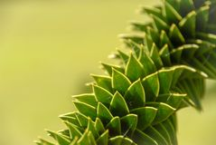 Twisted Monkey puzzle tree branch detail royalty free stock image