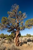 Twisted, Not Shaken. Photo of twisted bristlecone pine out in the Oregon Badlands where it rains less than 10 inches (25 cm) per year Stock Photography
