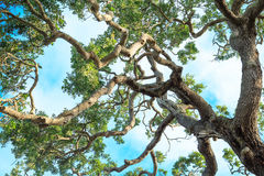 Twisted Oak Limbs. Against Sky Stock Images