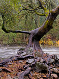 Twisted Oak Tree on Riverbank Royalty Free Stock Photo