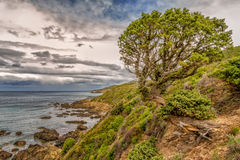 Twisted old pine tree on coastline of Corsica Stock Photos