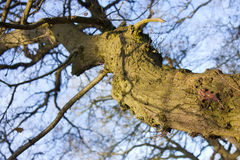 Twisted old tree Royalty Free Stock Photos