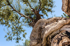 Twisted olive tree trunk Royalty Free Stock Image
