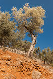 Twisted olive trees Stock Image