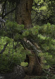 Twisted Pine Stock Image