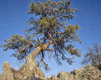 Twisted pine tree Stock Photography