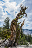 Twisted Pine Tree Trunk at Yosemite Stock Photos