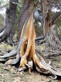 Twisted pinion tree on mountain Stock Photos