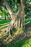 Twisted roots of old tree Stock Photography