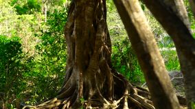 Twisted roots tropical tree in green forest close up. Tall tree in jungle with twisted roots. Vertical panorama roots. And trunk tree in rainforest stock footage