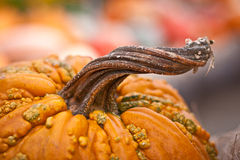 Twisted Stem of Pumpkin Stock Image