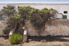 Twisted tree. A twisted tree laid over a wall of an old house in Lanzarote, Spain Stock Image