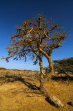 Twisted Tree. A leafless twisted tree in a barren landscape Stock Photography