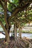 Twisted tree Royalty Free Stock Photo