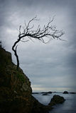 Twisted Tree. Tree twisted  by the harsh coastal environment clinging to a rocky cliff. The shy is dark and ominous Stock Photos