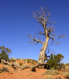 Twisted Tree. A gnarled, dead tree sticking up among the sage of the Arizona desert Royalty Free Stock Images