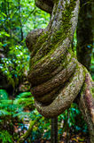 Twisted tree branch, Blue Mountains, Australia Stock Image