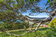 Twisted tree branch in a summer park. Pohutukawa tree crooked branch in a park on Paku mountain side, Tairua, the Coromandel peninsula, New Zealand Royalty Free Stock Photo
