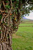 Twisted tree branches. Found in co. Kerry. Ireland Stock Photo