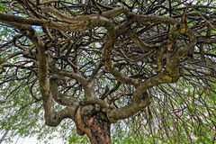 Twisted tree branches Stock Photo
