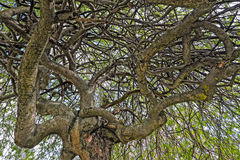 Twisted tree branches Royalty Free Stock Images