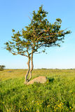 Twisted tree Stock Image
