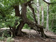 Twisted tree roots in the forest royalty free stock photography