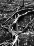 Twisted Tree Roots in the Forest with Stone and Rock Wall. Black and White royalty free stock photos
