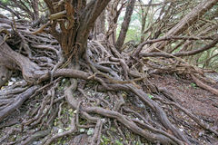 Twisted Tree roots Stock Photography