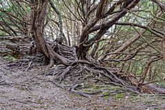 Twisted Tree roots Stock Image