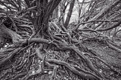 Twisted Tree roots Stock Images