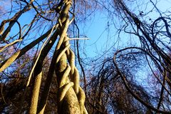 Twisted tree Royalty Free Stock Images